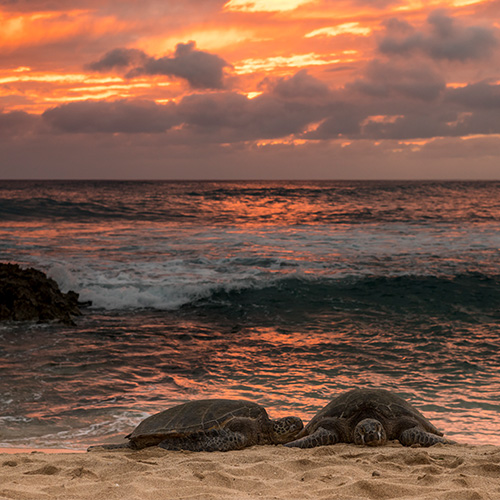 sea turtles at sunset in oahu