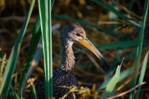 limpkin at sweetwater wetlands