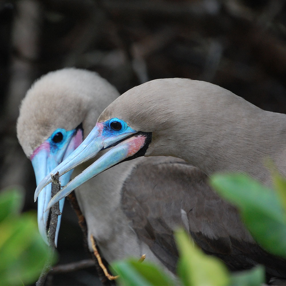 two blue-footed booby birds in galapagos